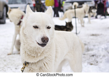 White laika posing before sled race - On the land of Sampo...