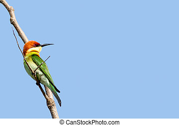 Bee-eater - this bee eater sitting on a branch and looking...