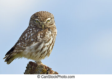 Little owl on a old tree.
