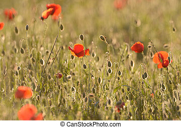 Poppy field with back light