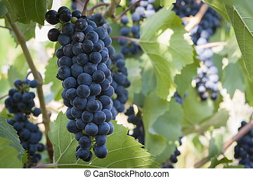 purple red grapes with green leaves on the vine fresh fruits...