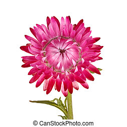 Single pink flower of a strawflower isolated on white