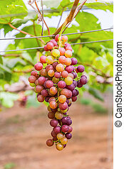 Grape vines - Grape vines in a vineyard