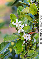 Flower of Kumquats, Fortunella sp, oranges citrus fruits. on...