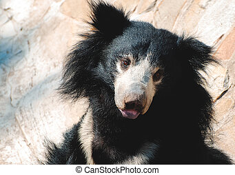 Black sloth bear - Black bear sloth sitting on a rock