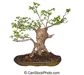 Bonsai Elm (Ulmaceae) isolated with clipping path