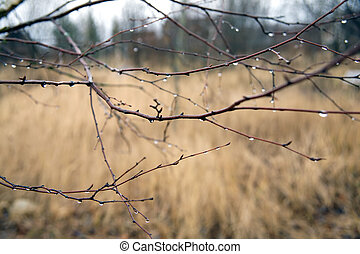 Drops of water on tree branches in cloudy autumn day in...