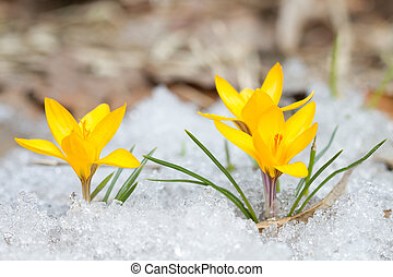 Blossom yellow crocuses - Blossom yellow crocuses on the...