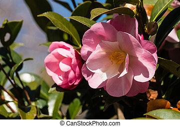 Cor-de-rosa, camélia,
