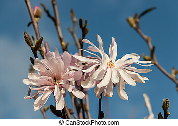 pink magnolia flowers against sky - pink magnolia flowers...