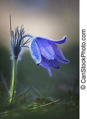 Pasque flower in morning - Close up of purple and blue...