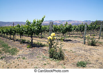 Yellow roses and grapes - California grapevines and yellow...