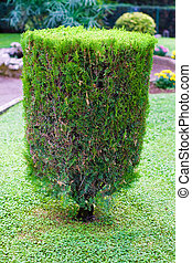 topiary trimmed bush in the garden at summer
