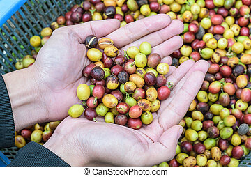 coffee beans on agriculturist hand - coffee beans on...
