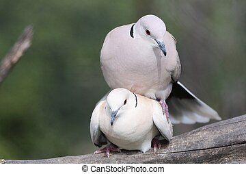 Mating Doves - Two beautiful ring necked doves mating on a...
