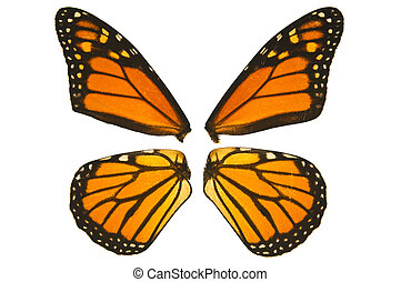 Monarch butterfly wings - Close up of monarch butterfly...