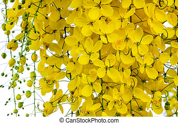 Golden shower (Cassia fistula) - Beautiful yellow flower...