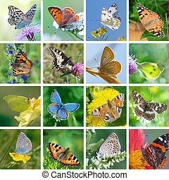 European butterflies - Big set of photos of European...