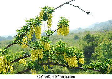yellow acacia - Yellow acacia in bloom at spring, nature