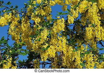 yellow acacia - Yellow acacia in bloom at spring, nature