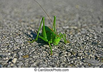 Grasshopper - Green grasshopper
