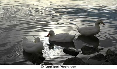 Three White Ducks by the Water Edge - Small group of ducks...