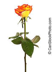 orange roses - Fresh orange roses on a white background