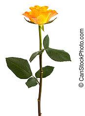 Fresh roses - Fresh orange roses on a white background