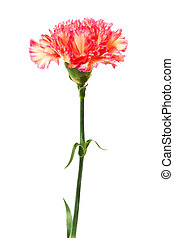 carnation - Beautiful fresh carnation on a white background