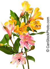 orange and pink alstroemeria on a white background