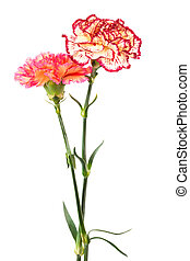 fresh carnation - Beautiful fresh carnation on a white...