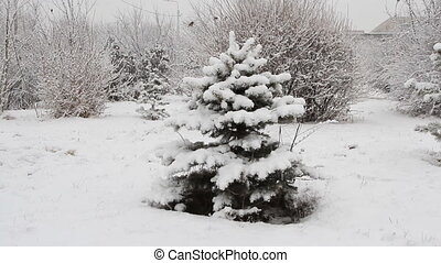 Snowfall asleep spruce in the park with snow