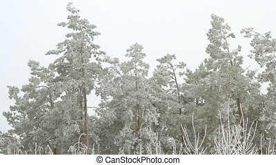 Tall pine trees covered with snow on a cloudy winter day