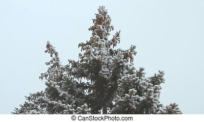 High spruce with cones under the snowfall on a winter day