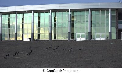 Unwanted Geese Invading - Panoramic view with modern...