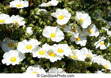 Rosa multiflora Rosa Arvensis - flower