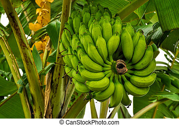 Bananas on tree - Green bananas growing on tree in...