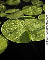 Lily pads with water drops