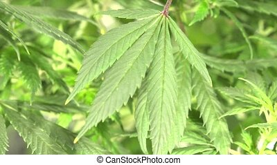 Close-up Marijuana Leaves - Young green leaves of Marijuana...