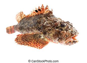 Fish Stone perch - Fresh sea fish stone perch on white...