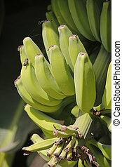 Green Fruits of Banana, Musa × paradisiaca is the accepted...