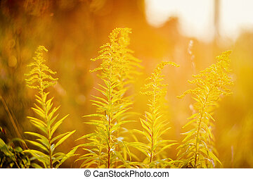Blooming goldenrod in sunset - Blooming goldenrod Solidago...