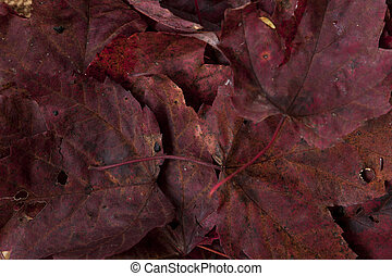 Deep Colored Maple Leaves in Fall