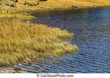 reeds on the shore of a lake, symbool for idyll, growth,...
