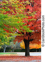 Autumn Trees - Tall bright colored autumn trees in Michigan...