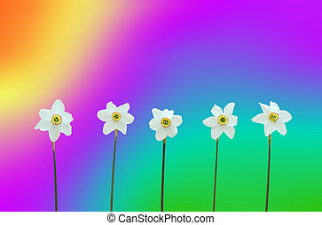 Daffodils over rainbow-colored background