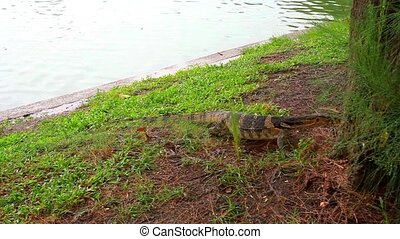 Water monitor in green park, Bangkok, Thailand. HD....