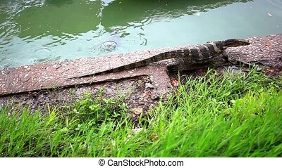Water monitor and turtle in green park, Bangkok, Thailand....