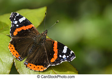 Butterfly - Red Admiral Butterfly, Vanessa atalanta, resting...