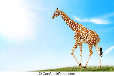 Giraffe in the field